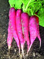 Ředkev Ostergruß rosa 2