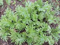 Asijská listová zelenina Wasabino