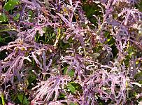 Asijská listová zelenina Rouge metis