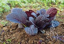 Asijská listová zelenina Garnet Giant