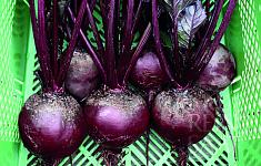 Řepa salátová Karmazyn