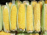 Kukuřice cukrová Mezdi KS