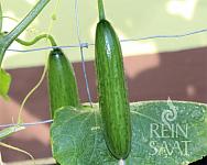 Okurka salátová La DIva