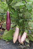 Lilek vejcoplodý Tsakoniki